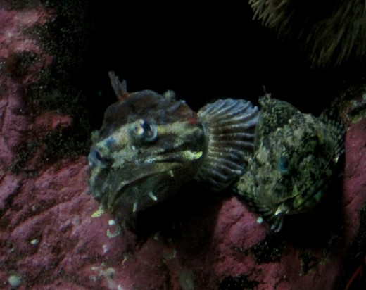 Two Stonefish sticking out of a rock (Extremely Deadly)