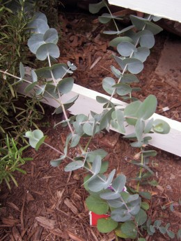 Well I killed this one. Eucalyptus is not suitable for the climate in which I live/