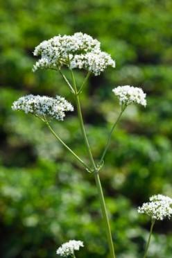 Uncommon Aromatic Perennial Plants for the Avid Gardener