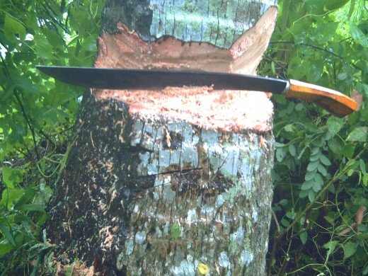 Cutting a coconut tree by using a bolo takes an hour to complete (Photo by Travel Man)