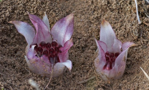 The tulip-like inflorescense of the Western Underground Orchid.