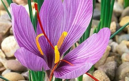 saffron crocus in flower