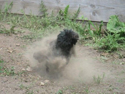 Sumatra hen in mid dust bath