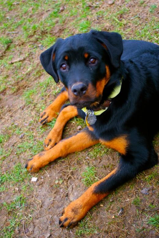 Rottweiler puppy - 4 months.
