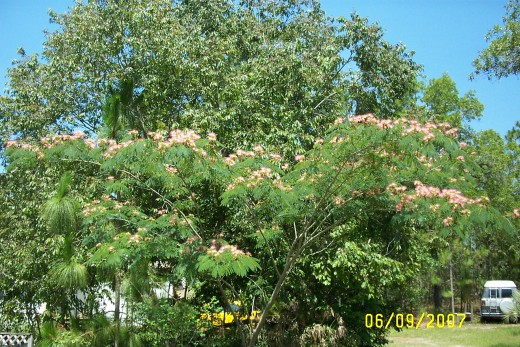 Mimosa tree in bloom