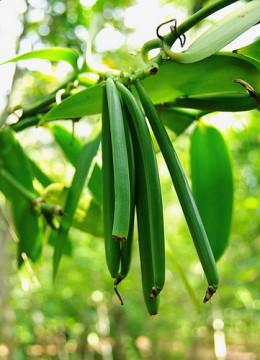 Immature vanilla pods on the plant.