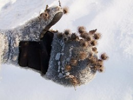 Burrs from the burdock plant can be annoying when they are not wanted for seed