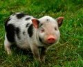 Do pigs make good house pets?