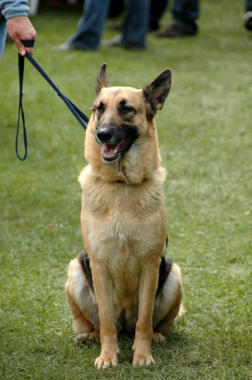 German Shepherd Sitting & Waiting.  Picture from Google Images.