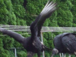 See the birds?  See the clothesline behind?  These are vultures - just imagine what their droppings will look like.