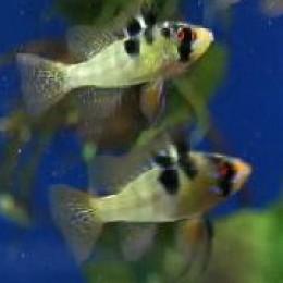 Papiliochromis ramirezi - German Rams
