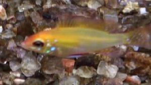Papiliochromis ramirezi - Gold  Rams