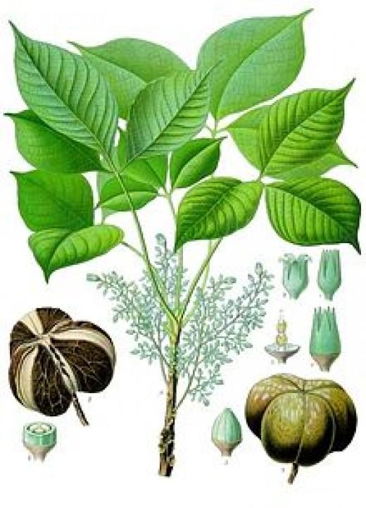 Pará Rubber Tree, Hevea brasiliensis.