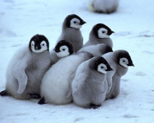 Creche of penguin chicks