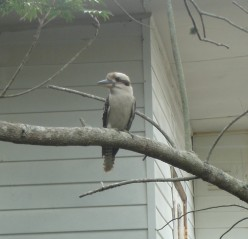 Classic Kookaburra, Dangar Island