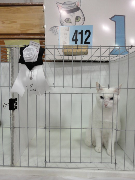 Image of Caspurr at an American Cat Fanciers' Association (ACFA) cat show, sponsored by the Catfederacy Cat Club of Gettysburg.  Caspurr finaled and placed 5th Best Cat in the Household Pet class.