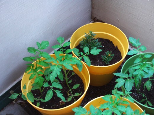 Tomato plants are growing in their containers during week two.