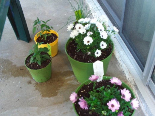 Watering the chili plants, and the osteospermum.  The small holes in the bottom of the containers allows he water to drain out, as it has on the pavement.  It is simple to clean later by moving the containers and hosing down the cement area.