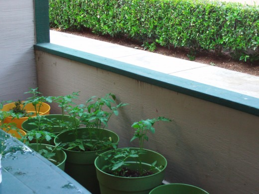 Looking at the tomato plants from over the table.  I like how there is a bit of water on the table in this photograph.