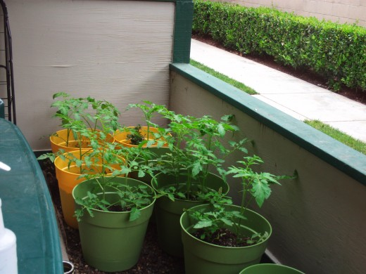 Another picture of the tomato plants growing taller.