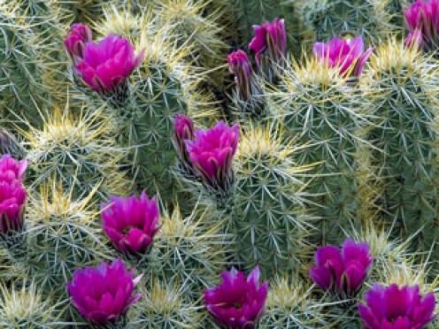 Hedghog Cactus