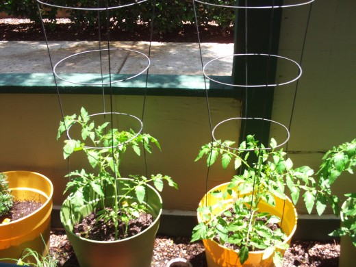 The tomato plants are beginning to grow with their cages.
