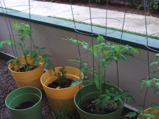 Tomato plants growing in their cages.