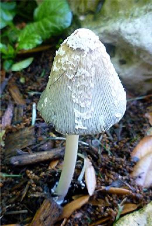 Wild mushroom or toadstool