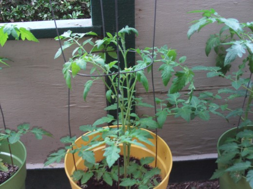 A hardy tomato plant.