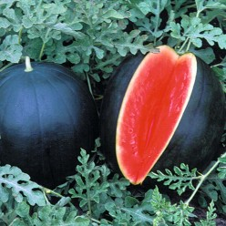 The Lulawissie Black Ball Watermelons