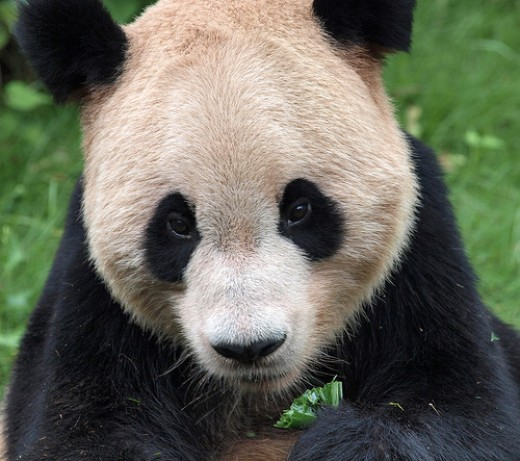 A little green for Panda.