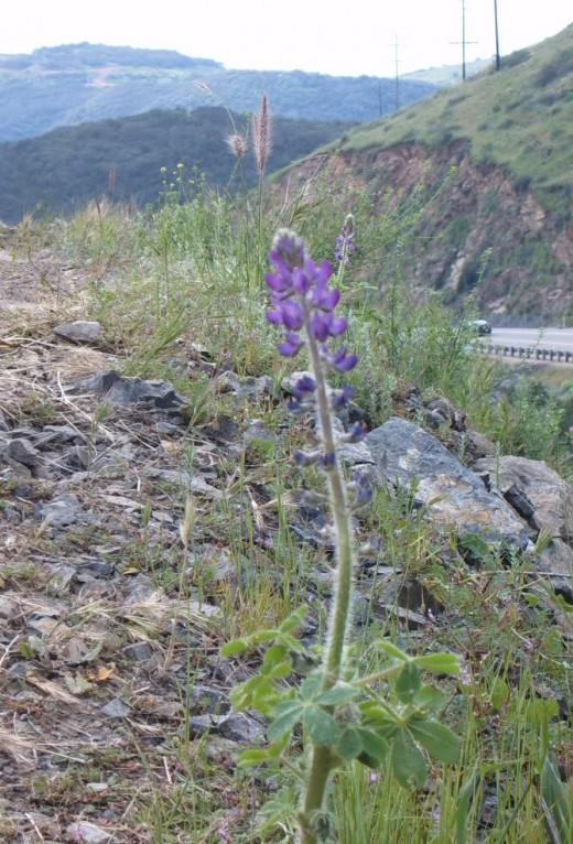 Blue Lupine, Del Dios Hwy