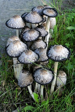 Shaggy ink caps.