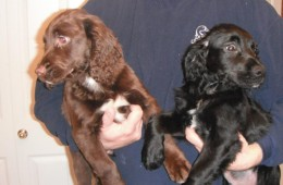 Two young english cocker spaniel males.