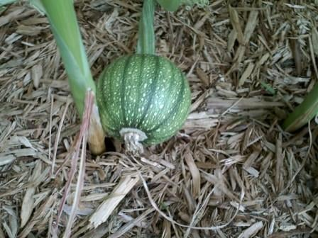 Growing pumpkin.