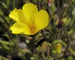 Detail on the Portuguese sundew flower.
