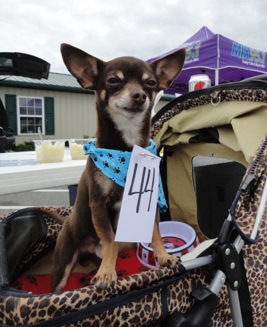 Image of Taki, a chocolate and tan Chihuahua, sporting around in his pet stroller.  He is owned by Cleopatra Kritikos of Chambersburg, Pa.