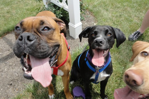 Image from left, Jackson, a Boxer owned by Robin Beatty of Scotland, Pa., who is also fostering  Tugger, a Boxer-Spaniel mix (middle).  Lower right, CJ, a yellow Labrador Retriever, owned by Mindi Divelbiss of Fayetteville, Pa.