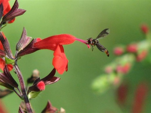 Salvia coccinea attracts hummingbirds and other pollinators.