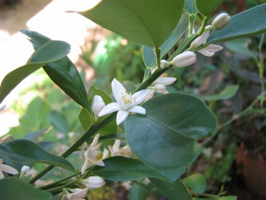 Kumquat Flowers