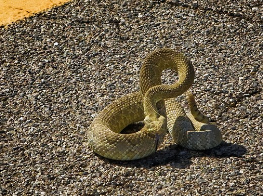 Mojave Green Rattlesnake in a defensive pose.