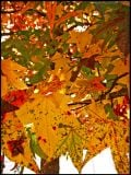 Maple tree leaves.      http://www.flickr.com/photos/virtually_supine/2996286796/
