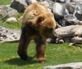 Grizzly Bear Attack! Tips for Hiking Safely in Bear Country