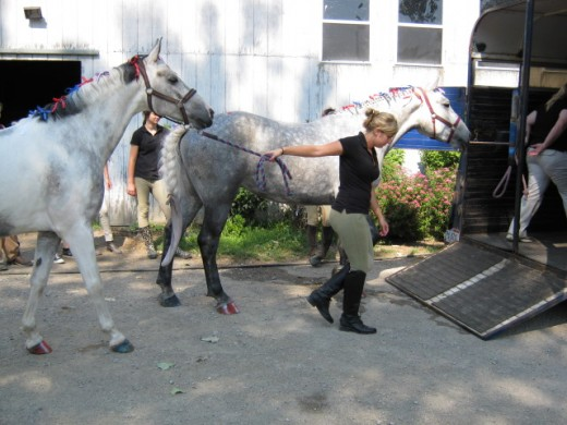 Here two of my horses, each only 5 years old, happily march on to an unfamiliar trailer all dressed up for a 4th of July parade.