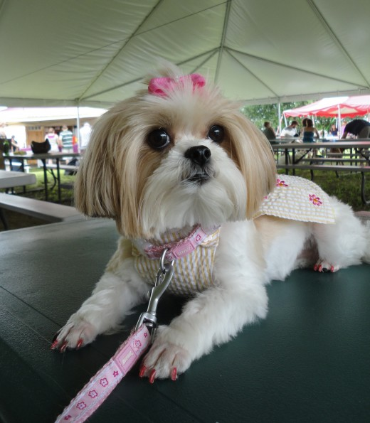 Image of Ariel, a Miki (Maltese-Japanese Chin-Papillon mix), often referred to as a designer dog.  She is owned by Lorene Bramer of Clarks Summit, Pa.
