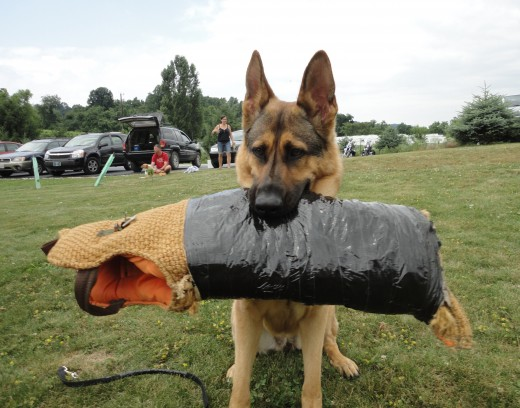 Image of Casey, a German Shepherd, owned by Kevin Johnson of Gettysburg, Pa.  She was trained by handler Charles Smith of J & S K9 Training.