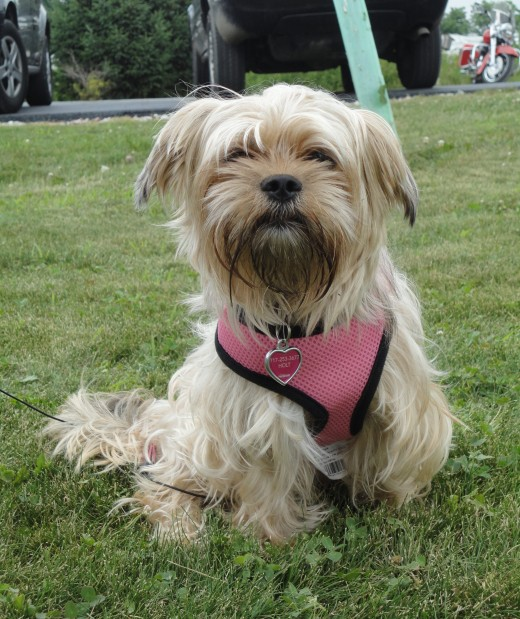 Image of Brandi, a Yorkie-Shih Tzu mix.  She is owned by Chelsey Vodenichar of Orrtanna, Pa.