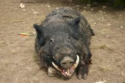 Close encounter with a wild boar