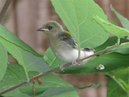 The fledgling Prothonotary getting ready to explore the world.