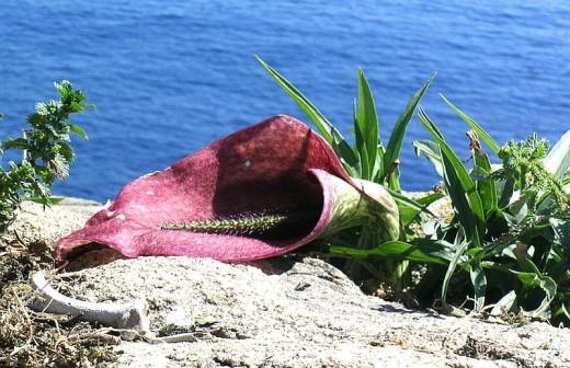 The corpse plant, Helicodiceros muscivorus.